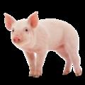kisspng-middle-white-danish-landrace-pig-miniature-pig-lar-pig-5abb2119ec42f7.5726906615222131459677